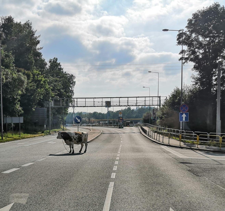 Kudowa-Zdrój: Krowa wyszła na spacer - Zdjęcie główne