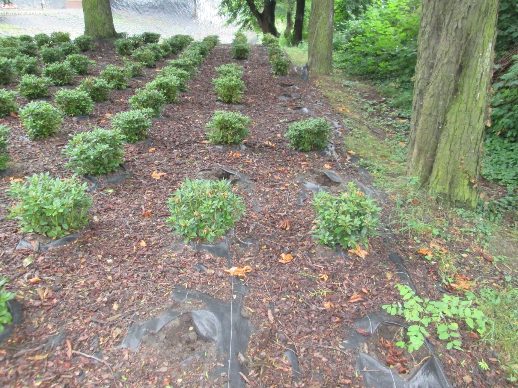 Ząbkowice Śl. Kradzież rododendronów i cisów w Parku Miejskim - Zdjęcie główne